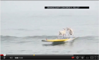 Surfing goats, San Onofre State Beach, CA, July 11, 2012/AP, Youtube.com