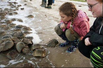 Youngsters examine horseshoe crabs come ashore in annual spawning ritual, Delaware Bay, May 2012/Marvin Joseph, The Washington Post