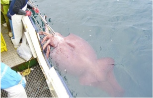 Colossal squid caught in Antarctica's Ross Sea, Feb 2007/New Zealand Ministry of Fisheries, Nat Geo
