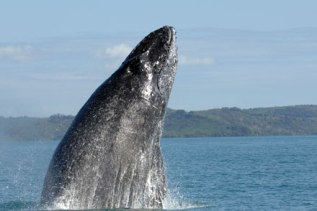 Humpback whale, location and date unknown/S. Cerchio, Wildlife Conservation Society