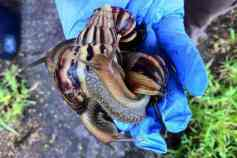 Giant African land snails/Arian Campo-Flores, The Wall Street Journal