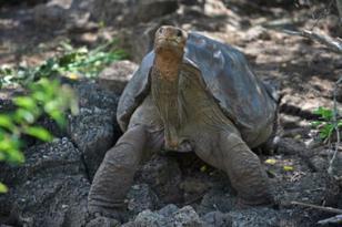 Lonesome George, the last surviving Pinto Giant Tortoise, Charles Darwin Research Station, Santa Cruz Island, Galapagos, undated/Melanie Stetson Freeman, The Christian Science Monitor