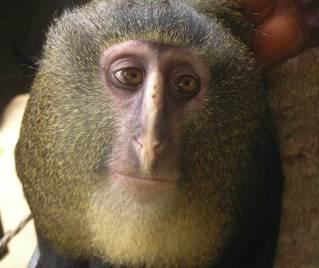 Newly identified lesula monkey, undated/M. Emetshu, PLOS One, Discovery News