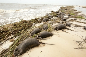 Dead Nutria, Waveland, Mississippi, Aug 31, 2012/Michael Spooneybarger, Reuters, NBC News.com