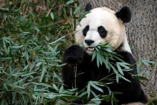 Mama Panda Mei Xiang, Smithsonian National Zoo, Washington D.C. December 19, 2011/Susan Walsh, AP,