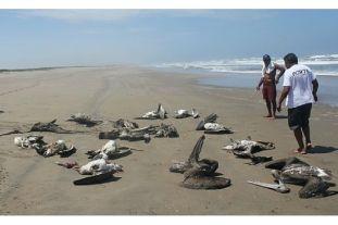 Dead pelicans, northern Peru, undated/Peru21, Peruthisweek.com