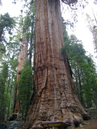 The President, now officially the second largest giant sequoia in Sequoia National Park, CA, undated/bradluke22, wikipedia