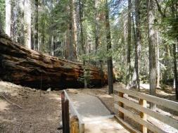 Fallen sequoia blocks trail, Sequoia National Forest, CA, Sept 30, 3011/AP, Sequoia National Forest