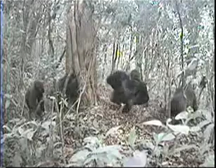 Camera Trap image of Cross River Gorillas, Silverback at center, Cagwene Gorilla Sanctuary, Camaroon, undated/Wildlife Conservation Society
