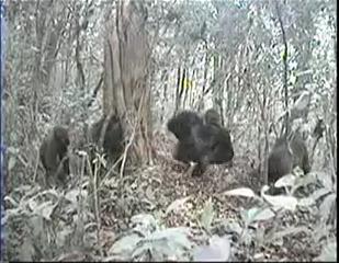Camera Trap image of Cross River Gorillas, Silverback at center, Cagwene Gorilla Sanctuary, Camaroon, undated/Wildlife Conservation Society