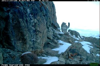 Snow Leopard mother and cub, Afghanistan, Oct 25 2011/wcs.org