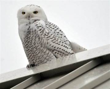 Snowy owl on rooftop in Racine, WI, Dec 22, 2012/Gregory Shaver, The Racine Journal Times, AP, Reuters