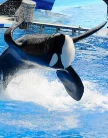 Tilikum, SeaWorld Orlando, undated/FloridaToday.com
