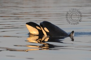 Victoria, aka L112, left, with her brother, L106, Sept 11, 2011/Ken Balcomb, Seattle PI