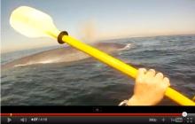 Rick Coleman paddles near blue whale off Rodondo Beach, CA, Oct 9, 2010/Rick Coleman, MailOnline (10/18/11)