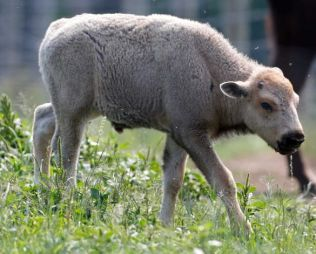 One-month-old white bison calf, Mohawk Bison Farm, Goshen, CT, July 18, 2012/Mike Groll, AP, Houston Chronicle