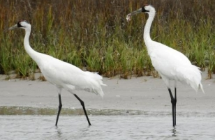 Whooping Cranes in Texas marshland, Fulton TX, Dec 17, 2011/Pat Sullivan, AP, USA Today