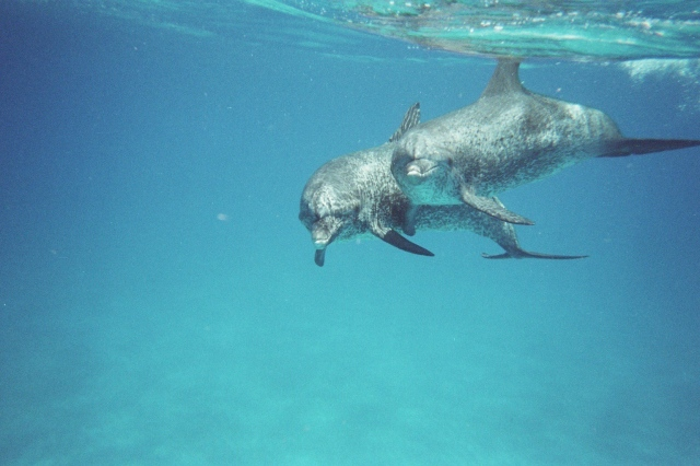 Adult male Atlantic Spotted dolphins (Stenella frontalis), Bahamas, July 2009/G.K.Wallace
