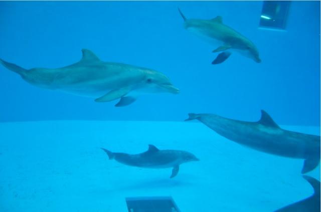 Bottlenose dolphins (Tursiops truncatus), Brookfield Zoo's Seven Seas Pavilion, Brookfield IL, March 19, 2011/Michael Kappel, flickr.com