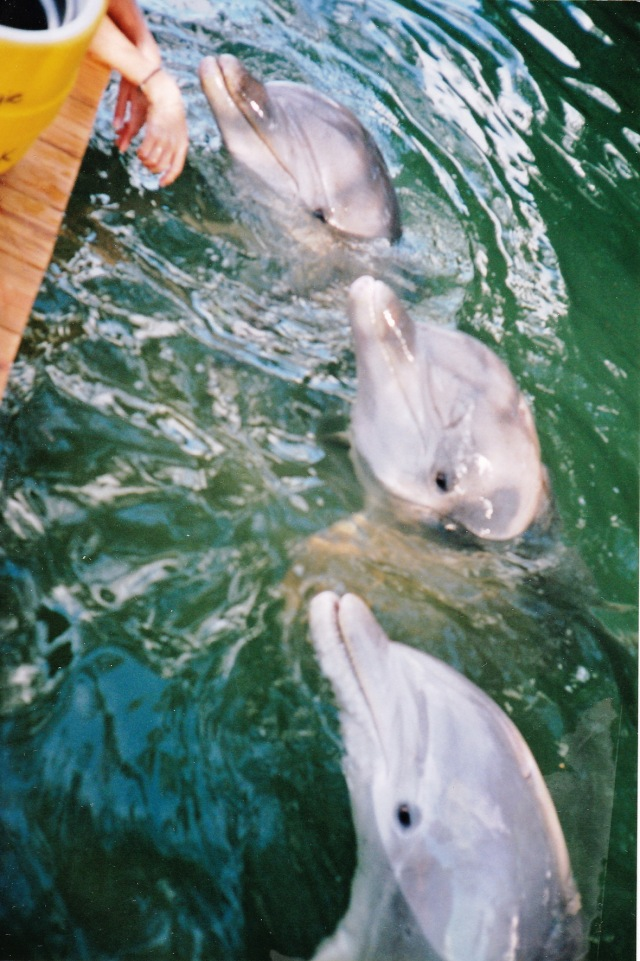 Navy dolphins Luther, Jake & Buck, not necessarily in that order, Sugarloaf Sanctuary, Sugarloaf Key FL, November 1994/G.K. Wallace