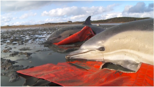 "Stranded dolphins on rescue tarps, Cape Cod, MA, Jan-Feb 2012/Image from ""Dolphin Mass Stranding, Cape Cod, MA, Jan-Feb, 2012,"" IFAW.org, vimeo.com"