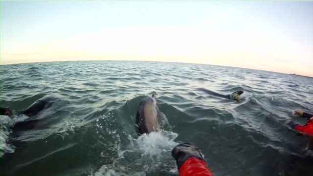 "Rescuers release dolphins back into the sea, Sagamore Beach, MA, Jan 14, 2012/Image from ""IFAW Dolphin Release, Sagamore Beach, MA, Jan 14, 2012,"" IFAW.org"