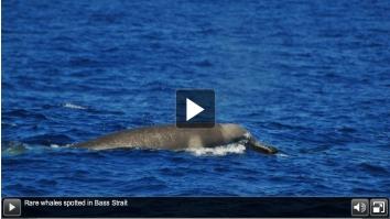 Shepherd's beaked whale, Bass Strait, Southeastern Australia, Jan 2012/Australian Antarctic Division, ABC News, Australia