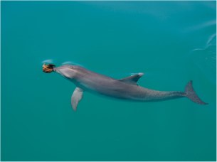 Bottlenose dolphin with sponge on rostrum, Shark Bay, Australia, undated/Ewa Krzyszczyk, monkeymiadolphins.org, Nature.com
