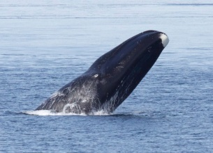 Bowhead whale, Fram Strait area, Arctic Circle, undated/Kate Stafford, U of Washington, Wired.com
