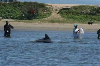 Fishermen & dolphin cooperatively catching mullet, Laguna, Brazil, undated/Fábio Daura-Jorge, msnbc.com