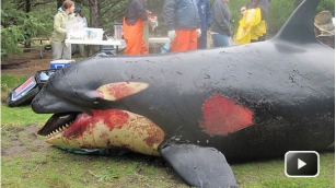 Three-year-old female member of L Pod, found dead, Long Beach, WA, Feb 11, 2012/CBC News