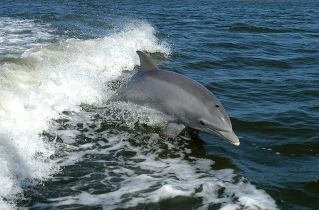Bottlenose dolphin surfs wake of research boat near Kennedy Space Center, undated/NASA, Wikimedia Commons, Discovery News