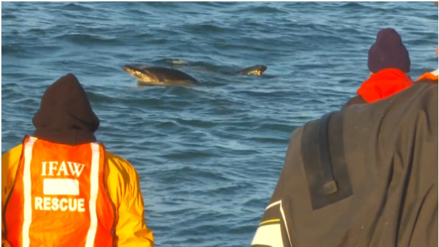 "Dolphin lifts head from water to take a parting look at human rescuers, Cape Cod MA, Jan-Feb 2012/Image from  ""Dolphin Mass Stranding, Cape Cod, MA, Jan-Feb, 2012,"" IFAW.org"