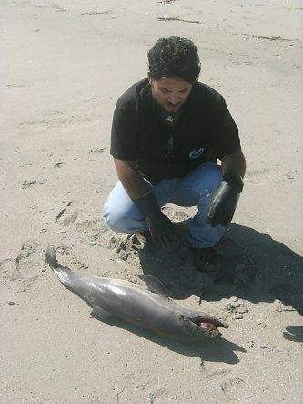 Carlos Yaipen, of ORCA, examines dead dolphin, Peru, undated/Carlos Yaipen, SFGate