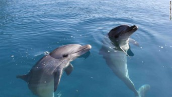 Male Bottlenose dolphins Misha & Tom, order unknown, place & date unspecified/CNN