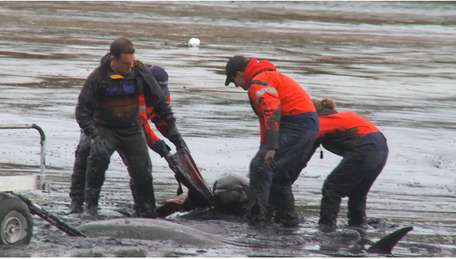 "IFAW rescuers pull dolphin from mud, Cape Cod, MA, Jan-Feb 2012/Image from ""IFAW Marine Mammal Rescue & Research,"" IFAW.org"
