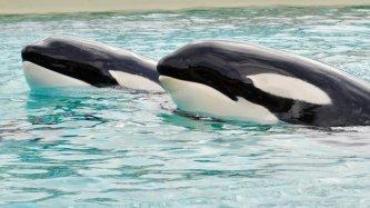 Keet & Corky, SeaWorld San Diego, Feb 27, 2012/Mike Aguilera, SeaWorld San Diego, UT San Diego