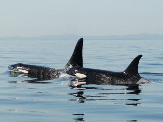 Female Orca (right) and her adult son, location & date unspecified/David Illifrit, Center for Whale Research, Science Now