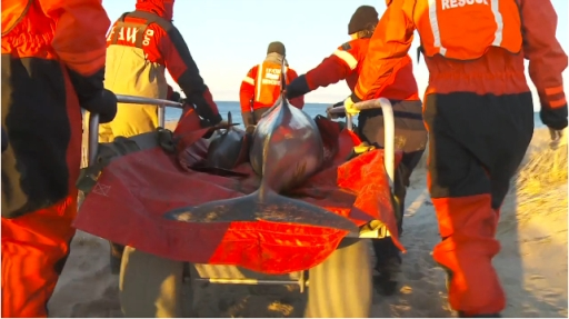 "Rescuers transport mother and calf to beach on next phase of journey back to the sea, Cape Cod, MA, Jan-Feb 2012/Image from ""Dolphin Mass Stranding, Cape Cod, MA, Jan-Feb 2012,"" IFAW.org"