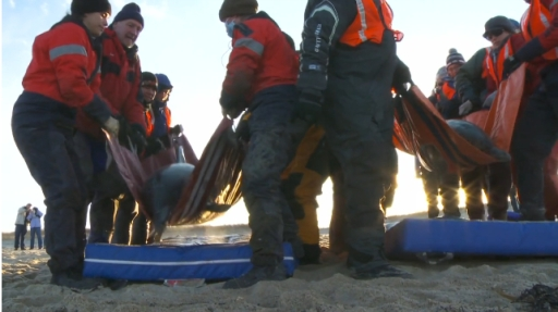 "Rescuers lift dolphins off air mattresses on beach for last phase of journey back to the sea, Sagamore Beach, MA, Jan 14, 2012/Image from ""IFAW Dolphin Release, Sagamore Beach, MA, Jan 14, 2012, IFAW.org"
