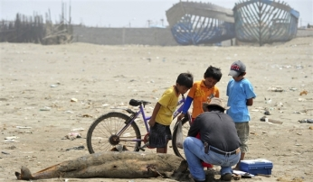 Carlos Yaipen Llanos of ORCA Peru examines dead dolphin, Lambayeque, Peru, Feb 11, 2012/Reuters, MSNBC