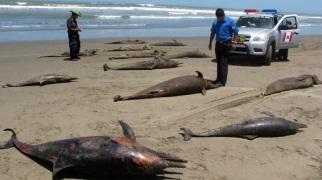Dead dolphins, Pimentel Beach, Chiclayo, Peru, undated/Nestor Salvatierra, AP, ctv.ca