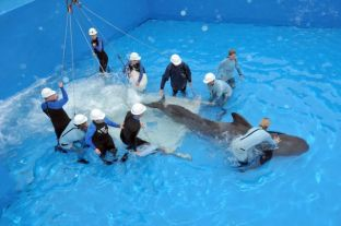 Pilot whale named Argo arrives at SeaWorld San Diego, March 19, 2012/SeaWorld San Diego, Los Angeles Times