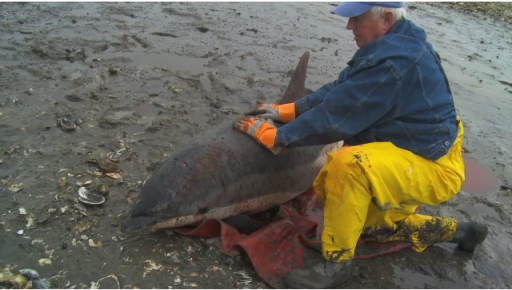 "IFAW rescue worker with injured dolphin, Cape Cod, MA, Jan-Feb 2012/Image from ""IFAW Marine Mammal Rescue & Research,"" IFAW.org"