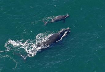 Female Right whale & calf off coast of Georgia, 2009/John Carrington, Savannah Morning News, AP
