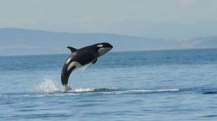 Young female orca L112, aka Victoria, Puget Sound, undated/Center for Whale Research, NPR
