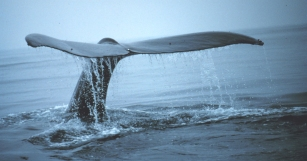 Humpback whale, location & date unknown/NOAA, NRDC