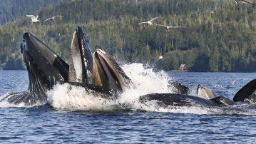Humback whales, Camden Sound, Australia, undated/AP, Herald Sun
