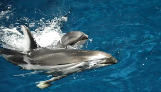 Pacific white-sided dolphin Piquet & newborn calf, Shedd Aquarium, Chicago IL, May 28, 2012/Shedd Aquarium