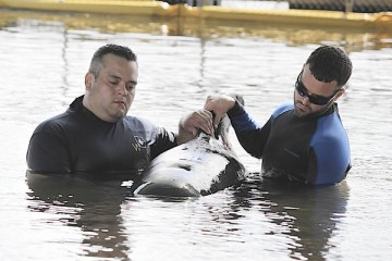 Javier Torres of Ft. Lauderdale and Leo Scheer of Miami support one of two female pilot whales who survived the May 5 stranding at Cudjoe Key, Marine Mammal Conservancy, Key Largo, FL, undated/Mike Clary, Sun Sentinel